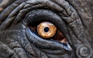 Symbole œil éléphant animal totem
